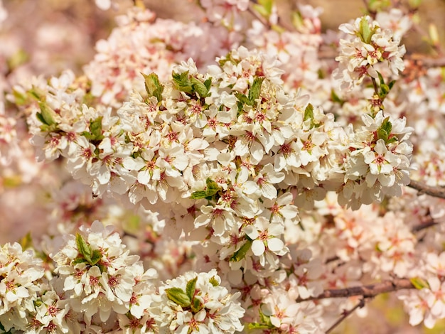 公園に咲くアーモンド。