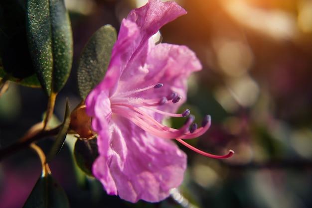 Цветущий цветок миндаля розовый, крупным планом, размытый фон. цветущие ветки рододендрона, алтайская сакура. изображение для поздравительной открытки, выборочный фокус.