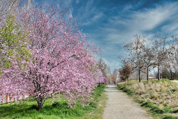公園の小道の近くにピンクの花が咲くアーモンドの木