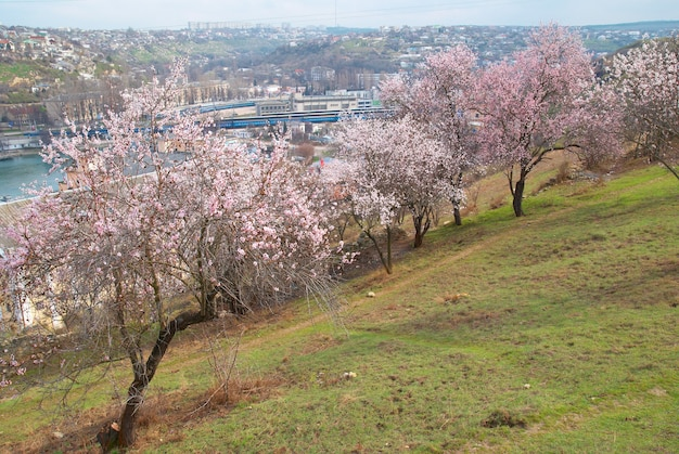 Blooming almond tree with white pink flowers