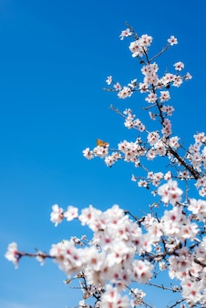 Blooming almonds on a background of blue sky