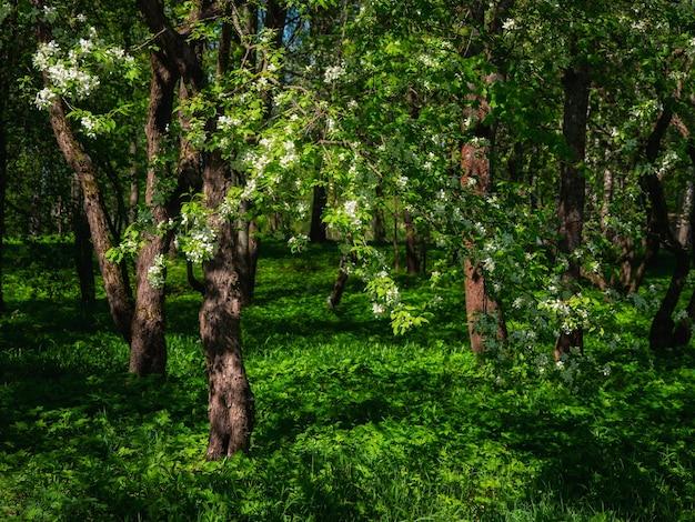 木の上に咲くリンゴの花、暗い日陰の緑の背景。