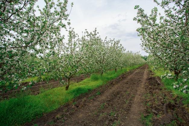 마에서 봄 야외에서 피 사과 과수원. 젊은 사과 나무 심고 도시 외부 정원에서 행 성장. 원예. 농업 경제학.
