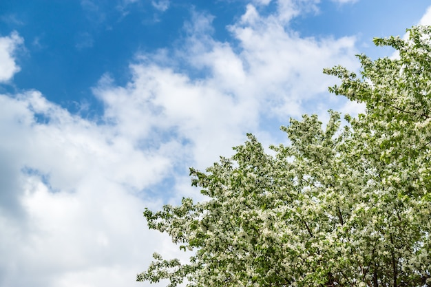 A blooming apple tree against a blue sky with white clouds