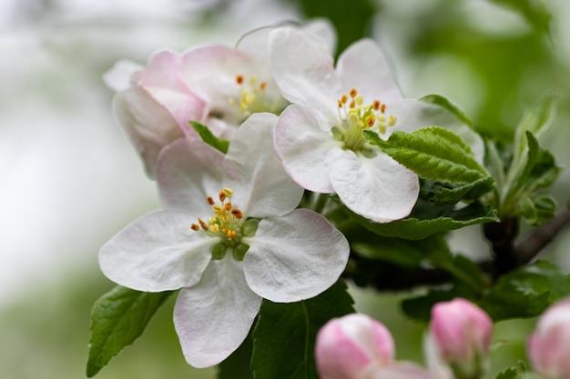 Цветущая ветка яблони, белые цветы яблони.