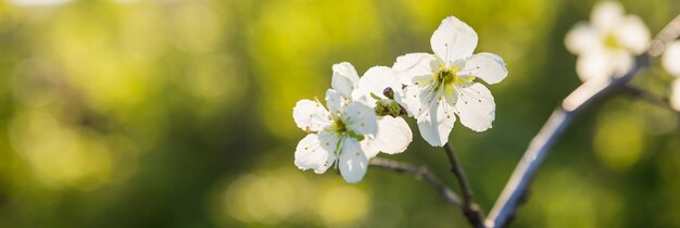 Цветущие ветви яблони в весеннем саду. закройте вверх для бутонов цветка белого яблока на ветке. весной или летом праздничные белые цветы ветки фруктовых деревьев