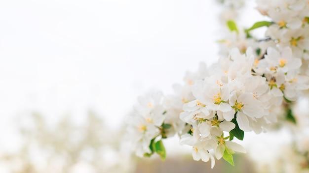 Цветущие ветки яблони в весеннем саду