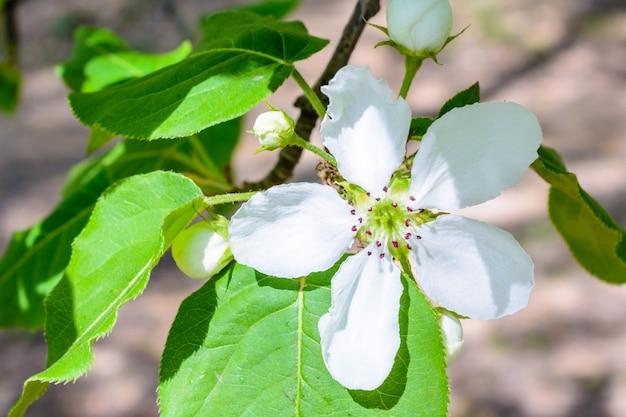 Цветущая яблоня крупным планом. макро фото цветы яблони. цветущая яблоня (malus domestica) распространяет ароматный аромат на мягком солнечном свете. яблоневый цвет. весна.