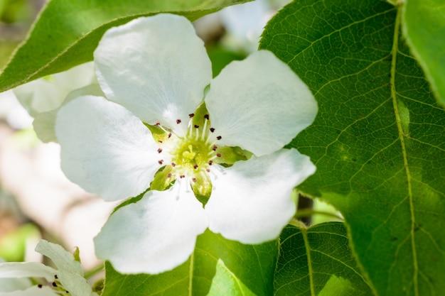 피 사과 나무 클로즈업입니다. 사과 나무의 매크로 사진 꽃입니다. 꽃이 만발한 사과나무(malus domestica)는 부드러운 햇빛에 향기로운 향기를 퍼뜨립니다. 사과 꽃. 봄날.