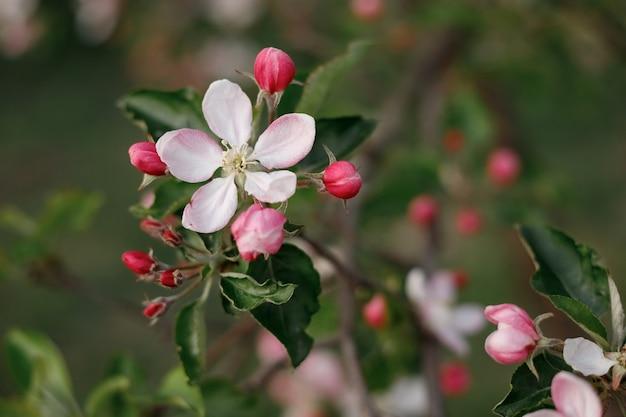 정원에서 봄에 피는 사과 나무