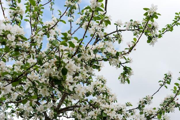 Цветущая яблоня в весеннее время против облачного неба.