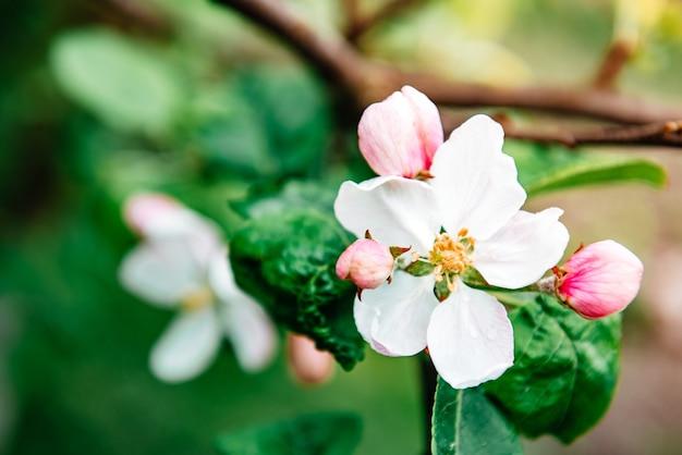 春に咲くリンゴの木。