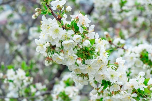 春に咲くリンゴの木