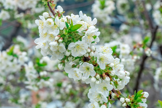 봄 시간에 꽃 사과 나무