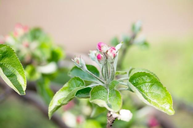 自然を背景に咲くリンゴの木。春の花。春の背景。