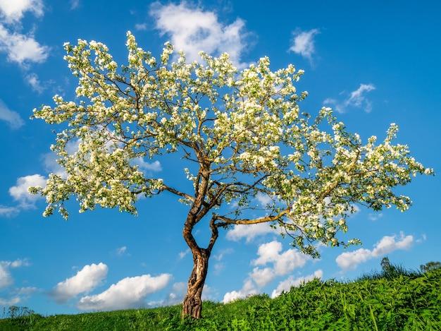 푸른 하늘 배경에 피 사과 나무입니다. 자연 봄 배경입니다.