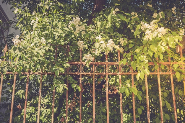 Blooming apple tree behind rusty iron fence. retro toned.