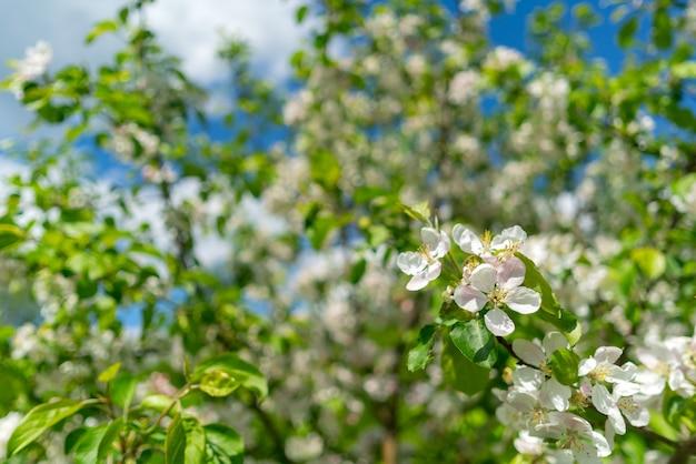春に咲くリンゴの木。白い花とリンゴの木の枝。