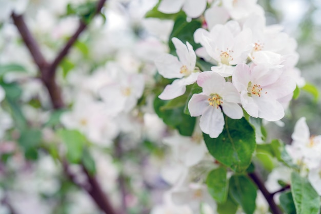 봄에 피는 사과 나무. 흰색 꽃과 사과 나무 가지입니다.