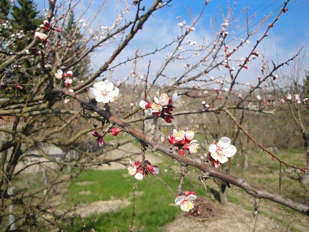 Blooming apricot apple pear cherry tree at spring