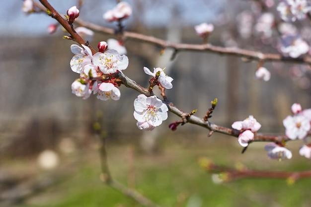 春の庭の木に春の花で咲くアプリコット