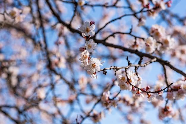暖かい春の4月の日に咲くアプリコット