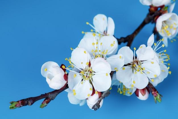 青色の背景に咲くアプリコットの木の枝。カレンダー、はがきの美しい春の自然シーン。