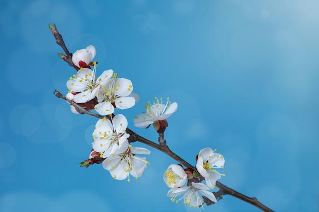 青い背景に咲くアプリコットの木の枝。コピースペース