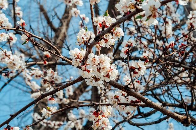 青い空を背景に咲くアプリコットの木の枝