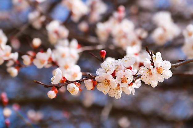 咲くアプリコットの木。春に白い木の花。閉じる。セレクティブフォーカス。