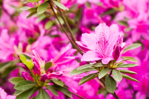 咲くツツジの花、春のピンクと紫の花、庭の自然の美しさ。