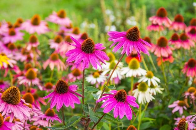 Цветущий красивый эхинацея в летнем саду