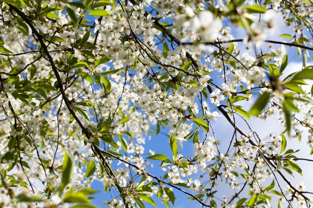Blooming beautiful real fruit trees in springtime in orchard, close-up and details of plants in bloom