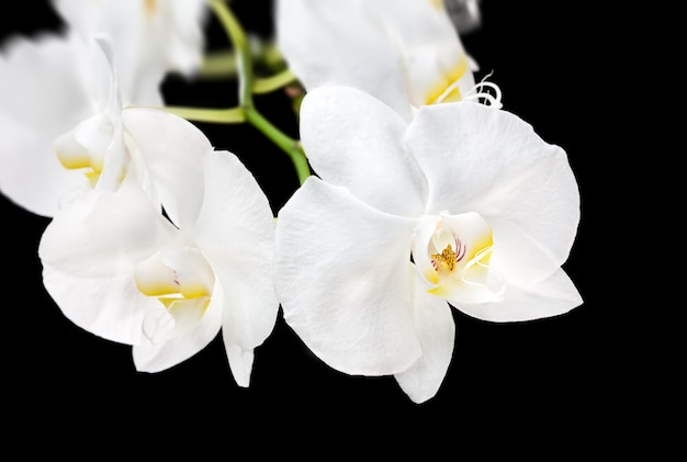 Blooming beautiful white phalaenopsis orchid on black background