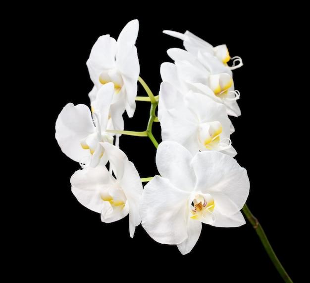 검은 배경에 피는 아름다운 흰색 호 접 난초