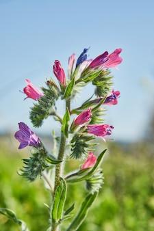 Blooming bell flower, in a field in spring. macro shooting.
