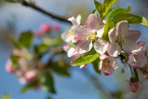 Цветущие цветущие ветки яблони весной