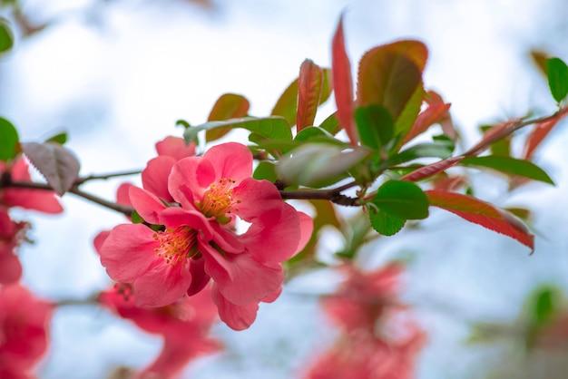 Цветущие цветущие ветки айвы японской или айвы maules весной