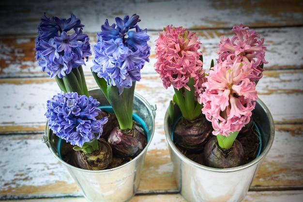 Цветущие синие и розовые луковицы гиацинта в красивом металлическом горшке.