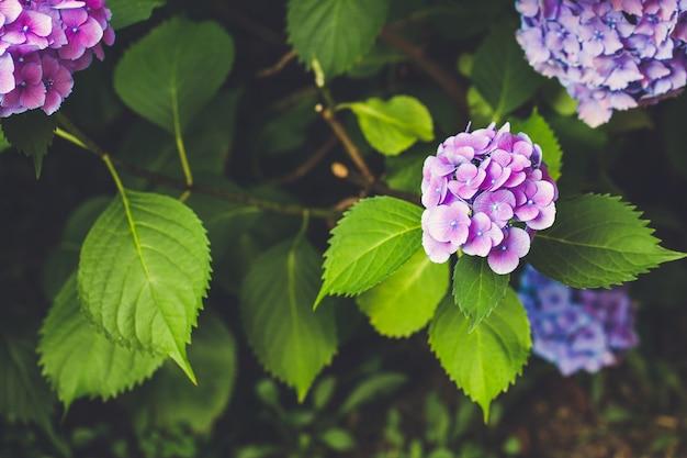 Цветущая голубая и розовая гортензия или гортензия