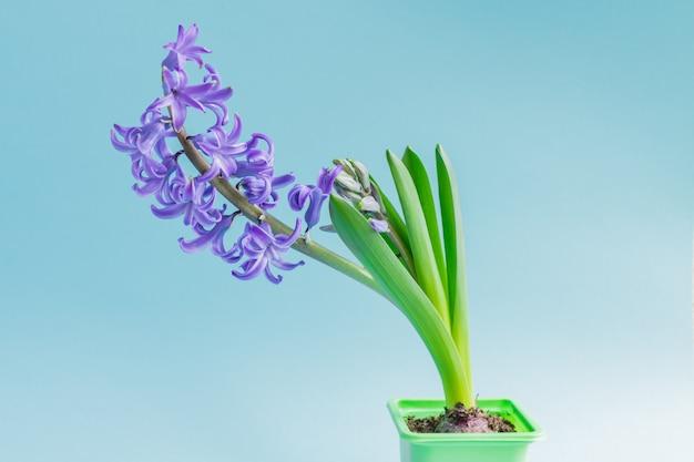 파란색 배경에 녹색 플라스틱 냄비에 피 블루 히 아 신 스 꽃. 공간을 복사하십시오.