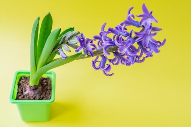 녹색 플라스틱 냄비에 피 블루 히 아 신 스 꽃