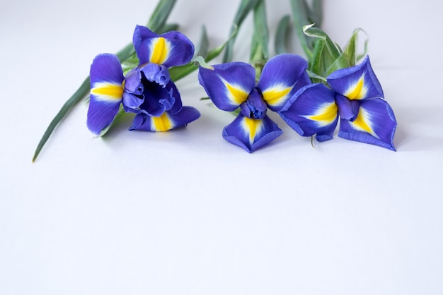 白に咲く青いアイリスの花。春の花