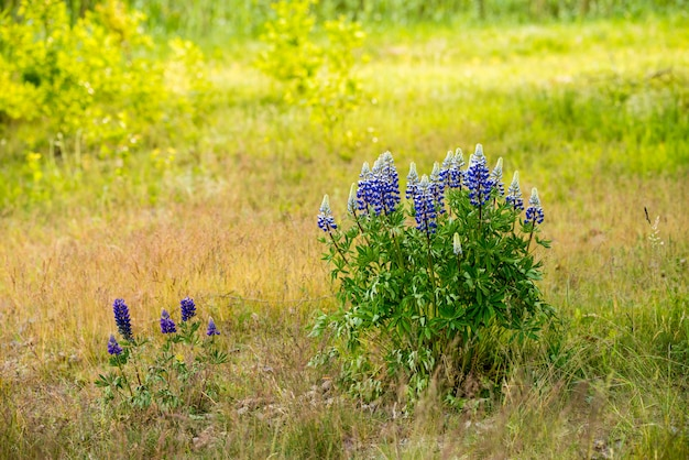 Blooming blue lupine flowers in the field