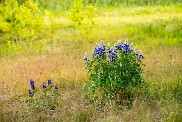 フィールドに咲く青いルピナスの花
