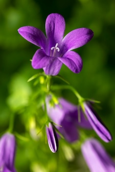 Blooming of blue mountain alpine bellflower in nature, campanula alpina. floral background. close-up. selective focus.