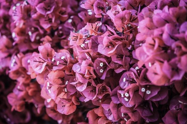 ブーゲンビリアの花が咲くマゼンタのブーゲンビリアの花。ブーゲンビリアの花として。フローラル。