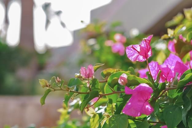 Цветущая бугенвиллия. розовый цветок бугенвиллеи, распускающийся утром в летний день, похож на экстерьер отеля. цветы пурпурной бугенвиллии в греции, египте, турции. цветочный фон.