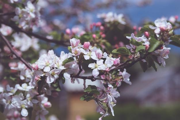 Цветущая ветка яблони с белыми цветами в саду. фотография цветов на размытом летнем фоне