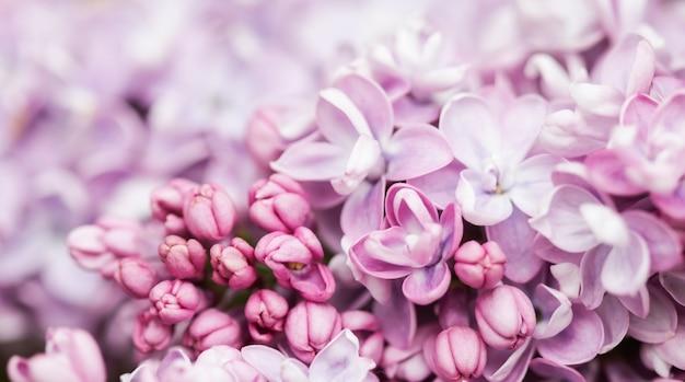 春に咲く紫のテリーライラックの枝